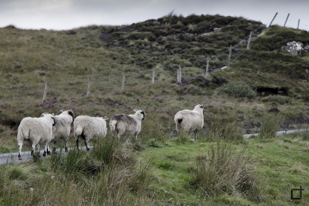 Scozia_pecore
