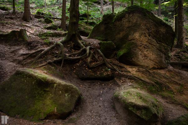 Radici bosco