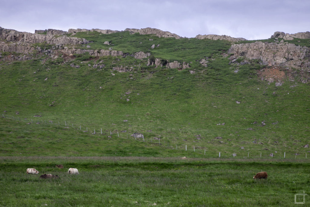 mucche-e-pecora-islanda