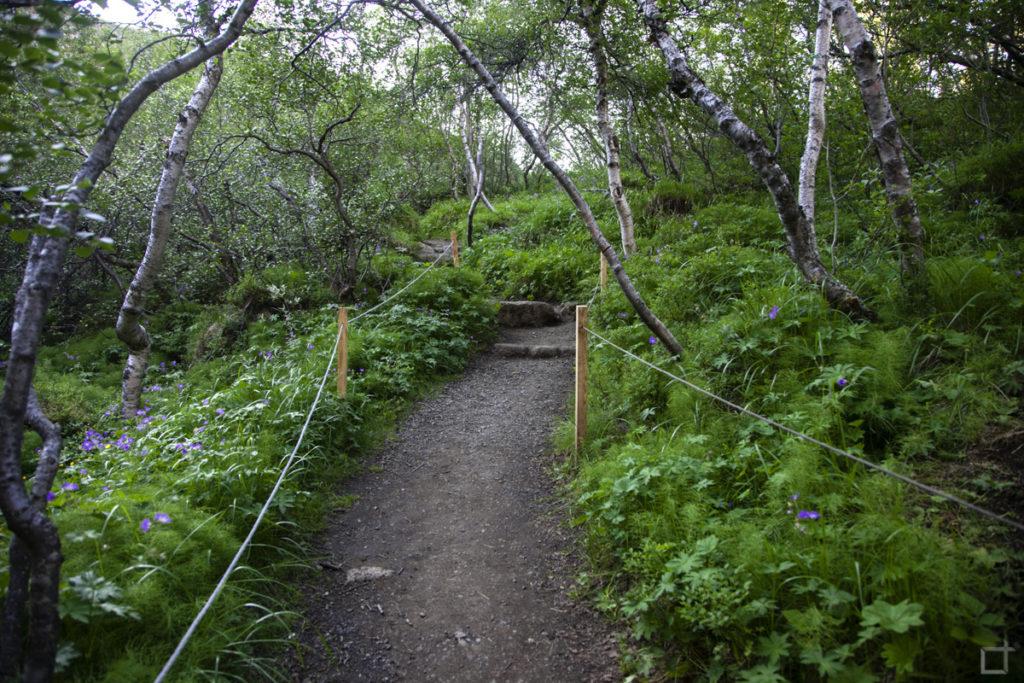 Foresta di Betulle Islanda