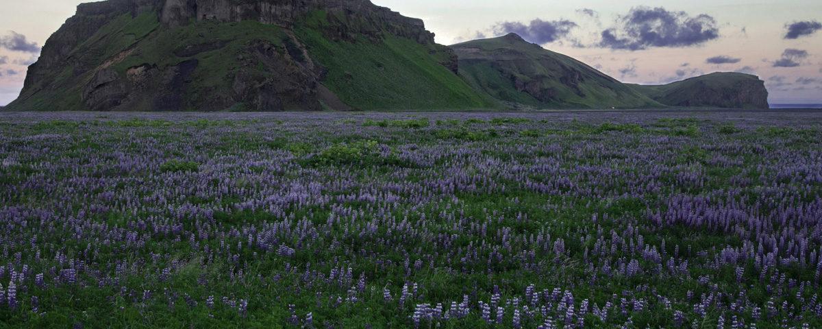 Islanda Campi di Erica e Altopiani di Lava