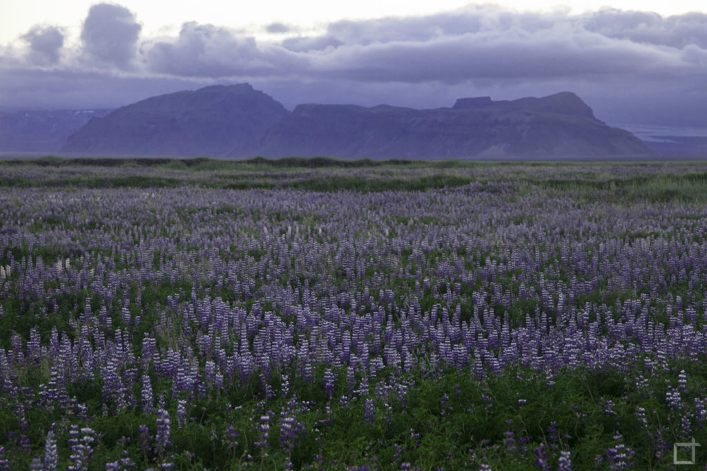 Islanda del Sud Campi di Erica e Natura Selvaggia