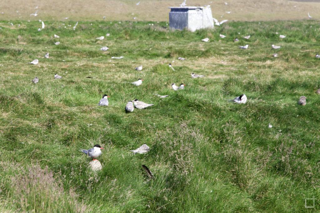 Uccelli Aggressivi Islanda Sterne Artiche