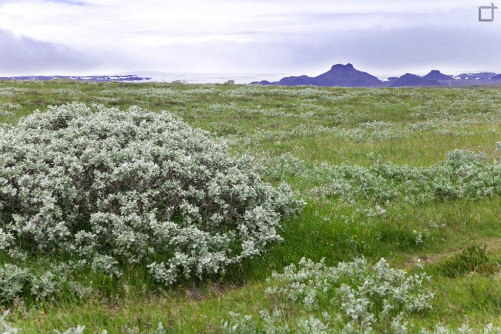 Vegetazione ed arbusti Islanda