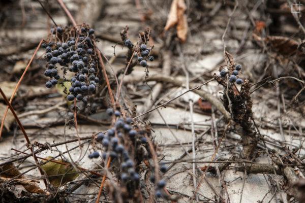Acini di uva secchi