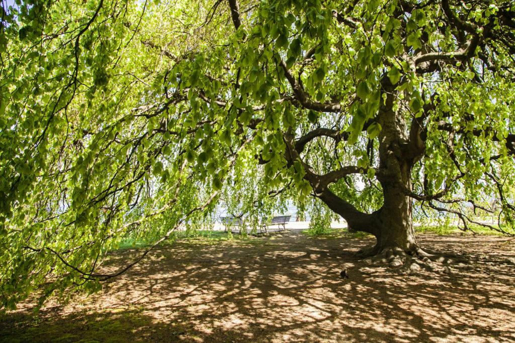 Parco e Alberi a Stresa