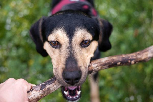 Afferrare un bastone - Cane nella Natura