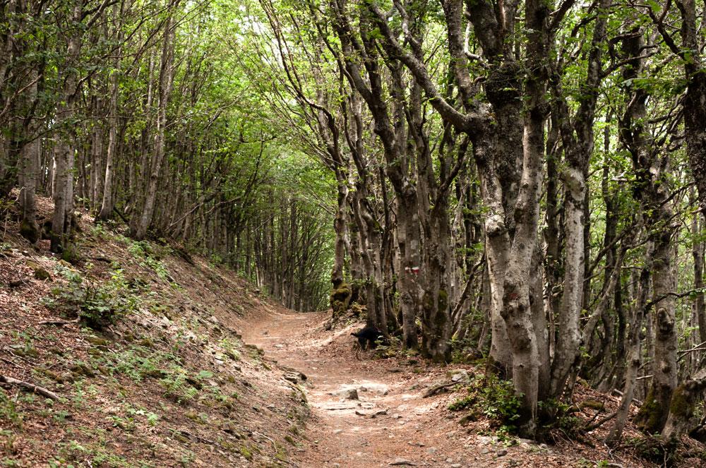 Alberi Ricurvi e Bitorzoluti nelle Foreste del Casentino