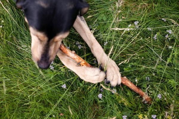 Cane che gioca con bastoncino
