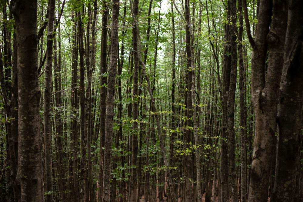 Faggete nella Foresta della Campigna - Monte Falco