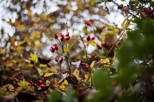 Bacche rosse tra gli Alberi