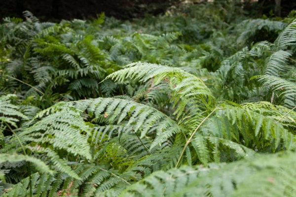 Felce e Natura nelle foreste del casentino
