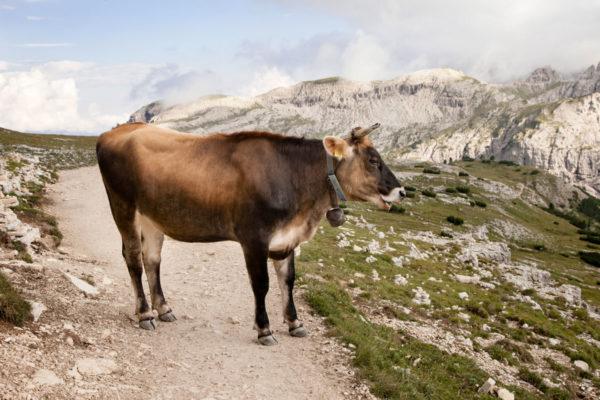 Mucca marrone sul sentiero