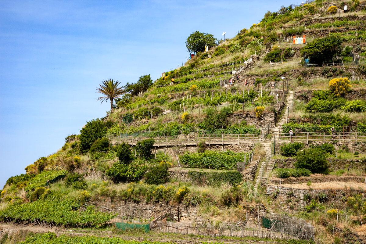 Terrazzamenti Coltivati a Vite - Parco Naturale delle Cinque Terre