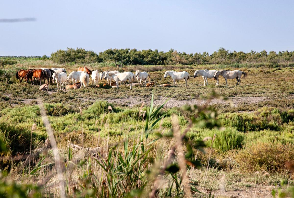 Animali liberi dentro alla Camargue