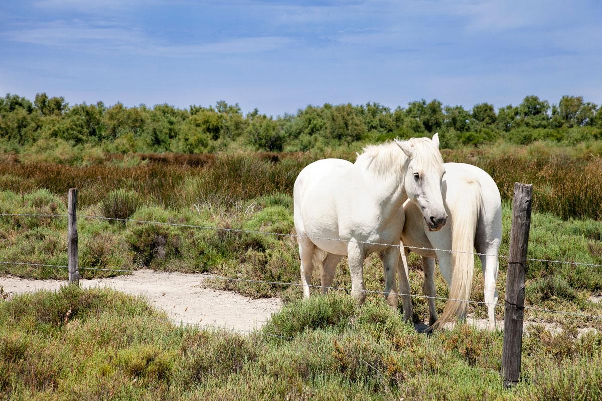 Cavalli allo stato brado in Francia - Cosa vedere in Camargue
