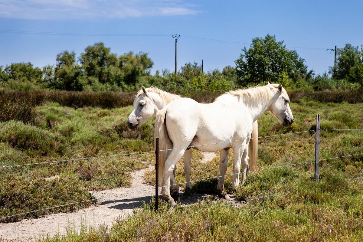 Cavalli bianchi in Camargue - Natura Selvaggia in Francia