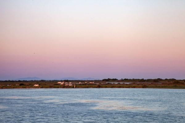 Natura selvaggia e cavalli bianchi durante il tramonto in Camargue - Cosa vedere in Provenza