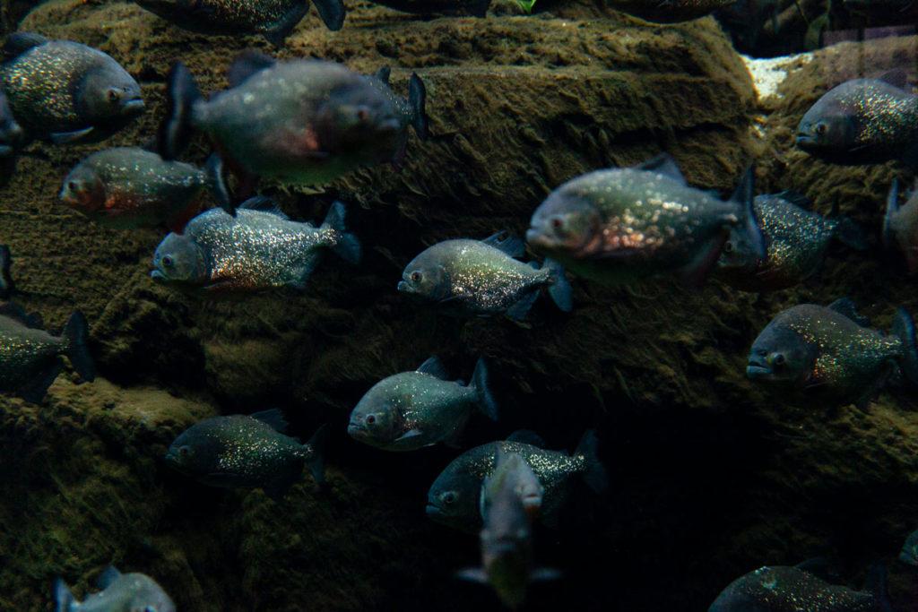 Piranha al Den Bla Planet