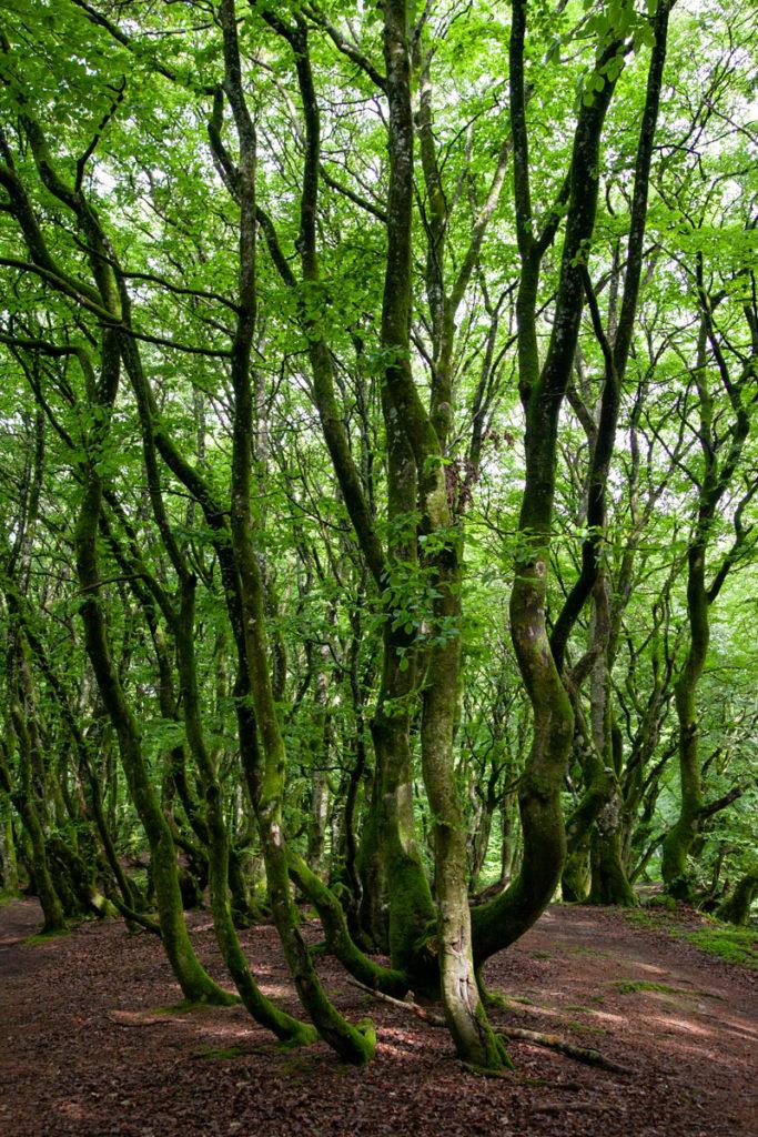 Alberi con tronchi ondulati - Cosa vedere in Danimarca