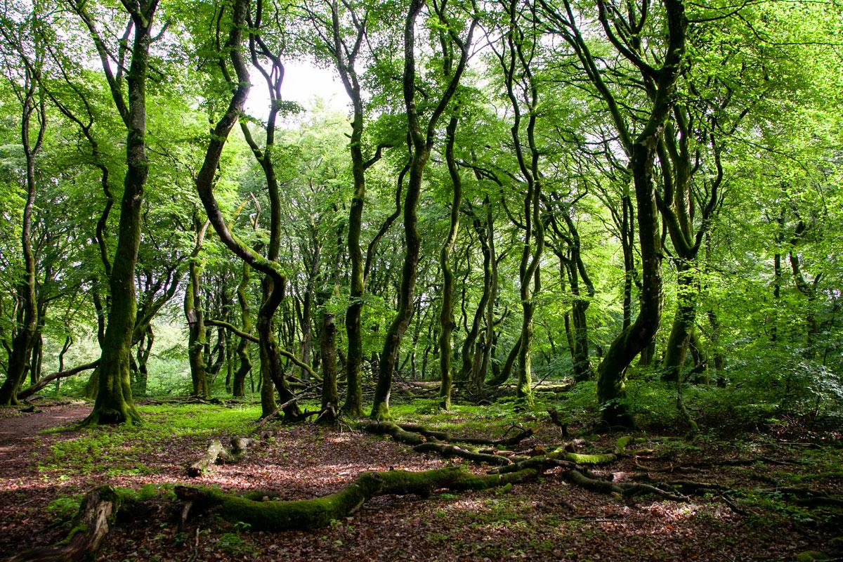 Alberi storti nella misteriosa foresta di Rold Skov