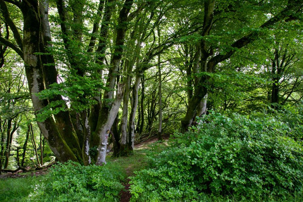Alberi tremuli nella foresta Rold Skov - Jutland
