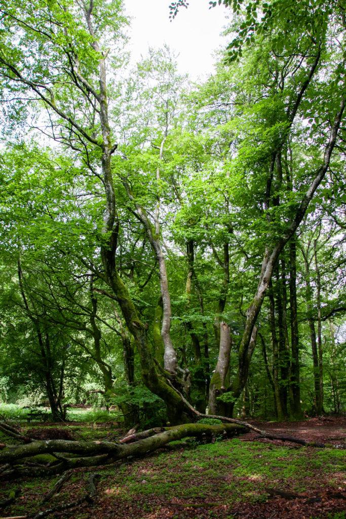 Faggi dai tronchi ondulati - Foresta di Rold Skov