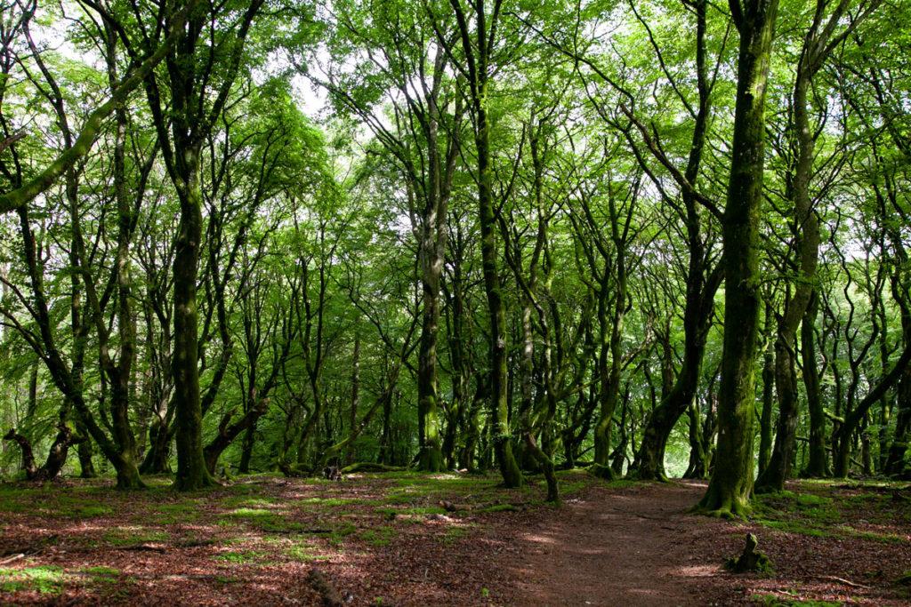 Faggi dai tronchi ondulati - Rold Skov - Foresta Danese