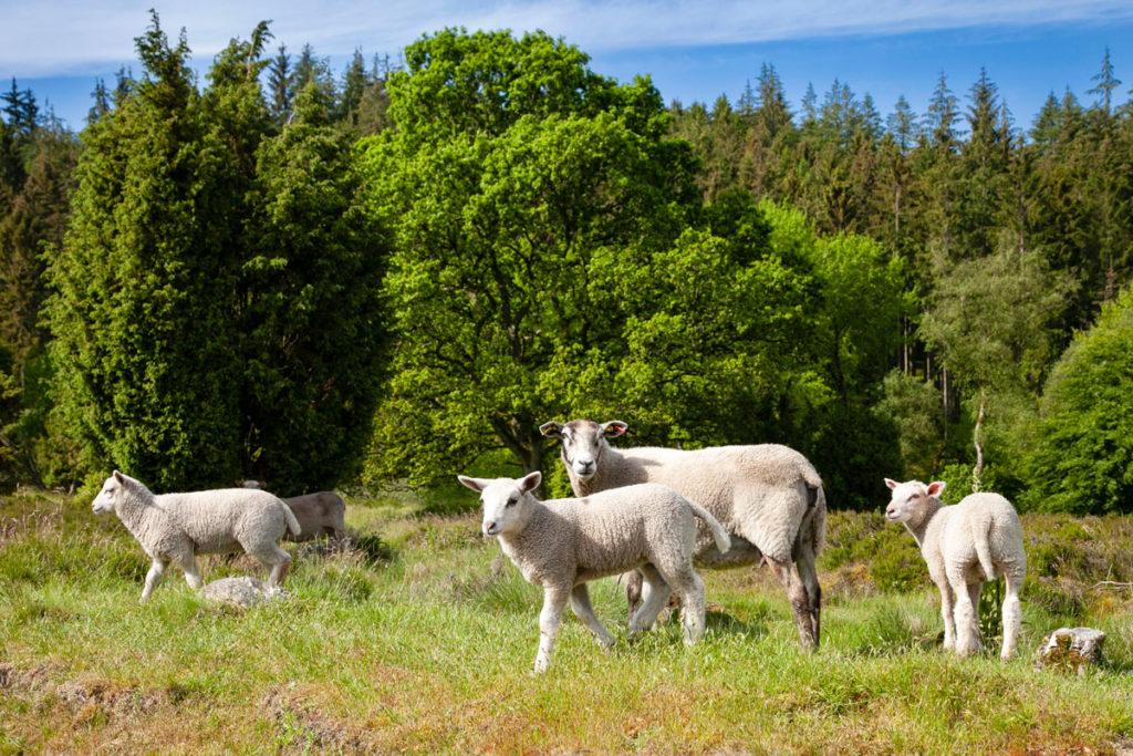 Mandria di Pecore nella foresta Danese