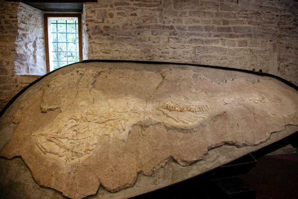 Museo Speleologico di Frasassi - fossile di Ittiosauro
