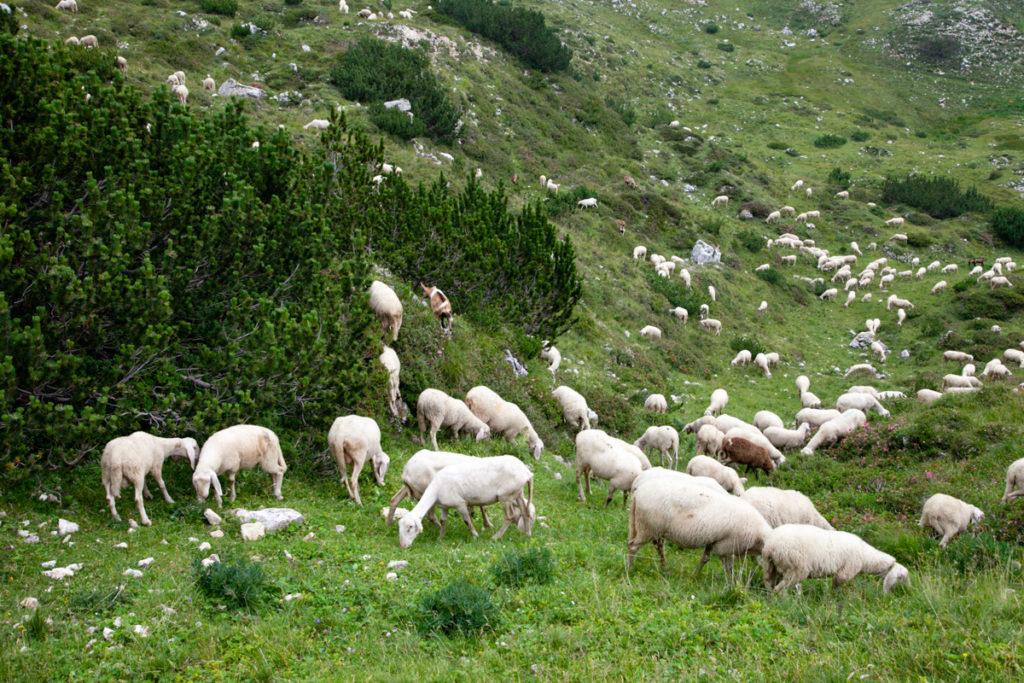 Pecore e Animali nella Strada degli Scarubbi
