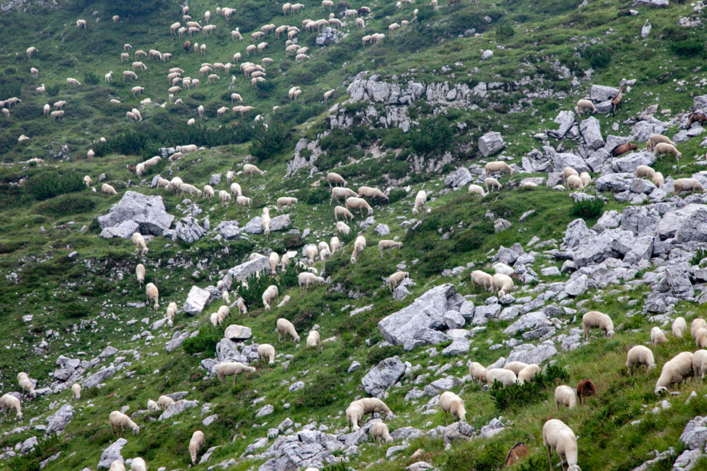 Pecore lungo la Strada degli Scarubbi