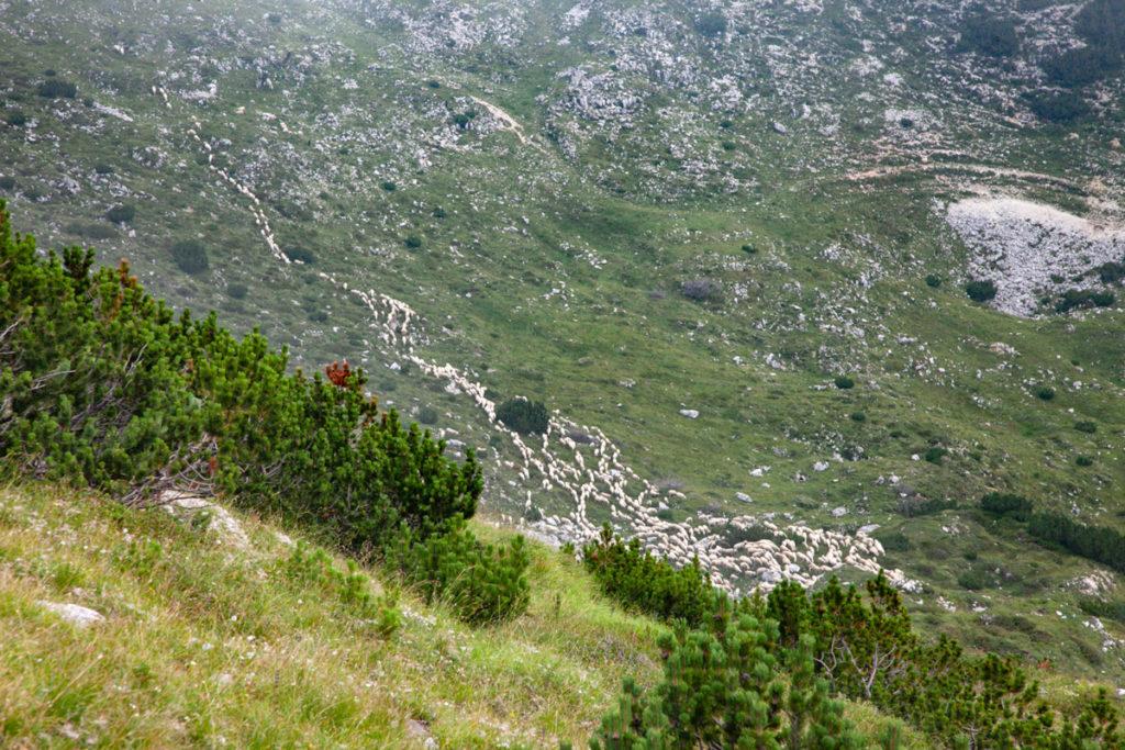 Pecore vicine al rifugio Papa