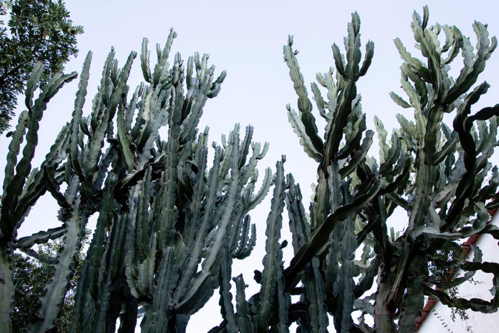 Cactus altissimi e piante grasse a Capri
