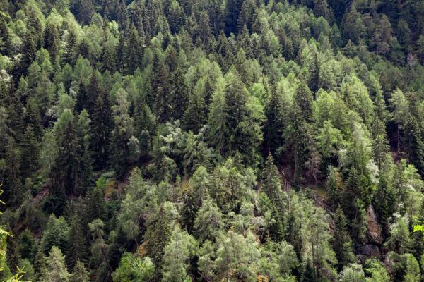 Alberi sul Monte Sole in Val Venosta