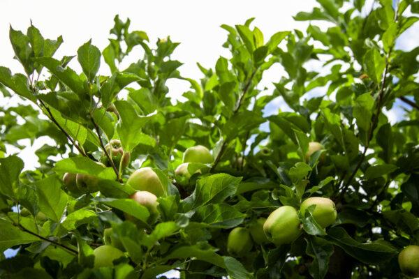 Campi di meli in Val Venosta