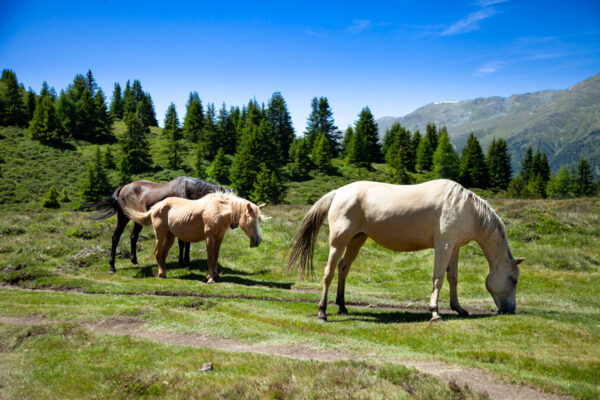 Cavalli avelignesi lasciati liberi di pascolare