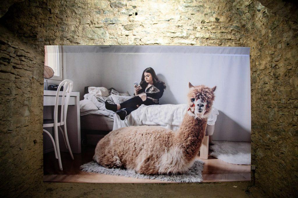 Alpaca domestico - Aleksi Poutanen